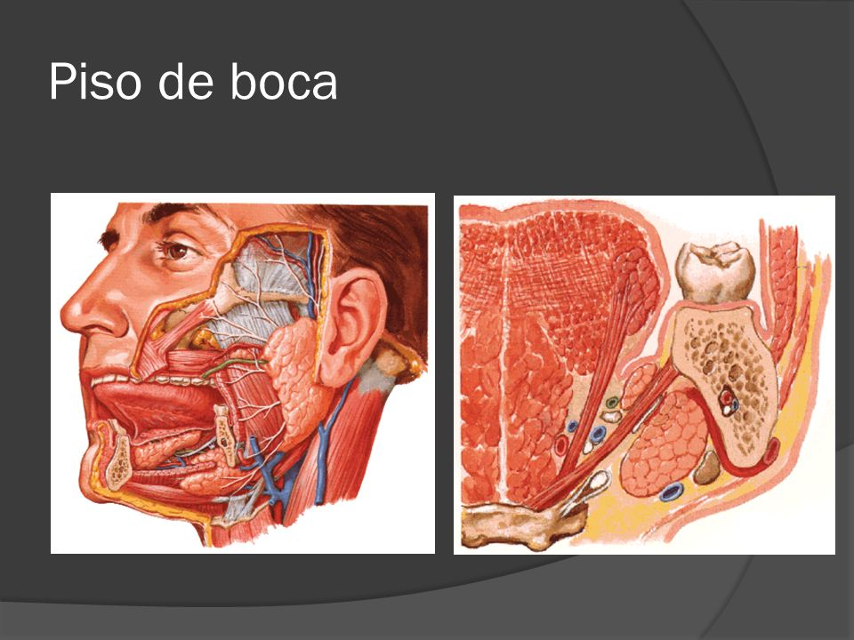 Lujoso Piso De La Anatomía De La Boca Ilustración - Anatomía de Las ...