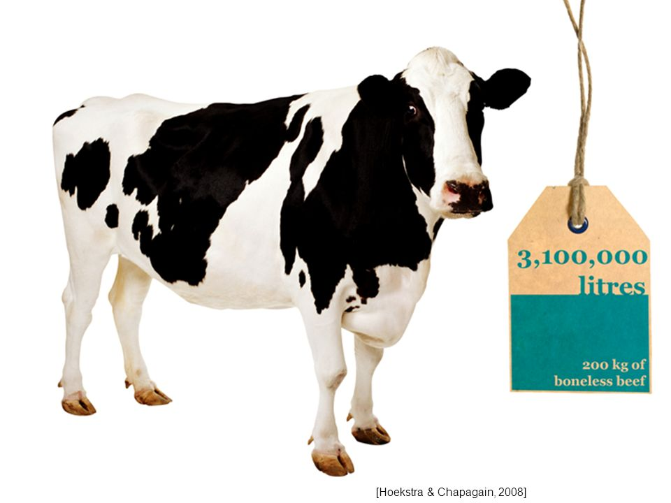 The water footprint of a beef cow is 3,100,000 litres