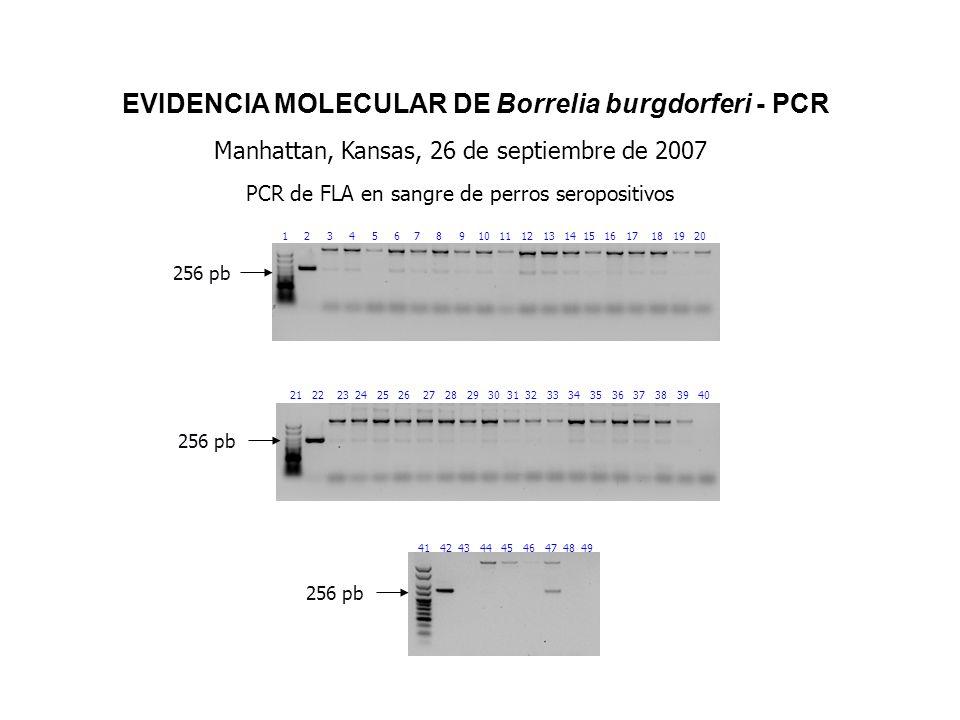 EVIDENCIA MOLECULAR DE Borrelia burgdorferi - PCR