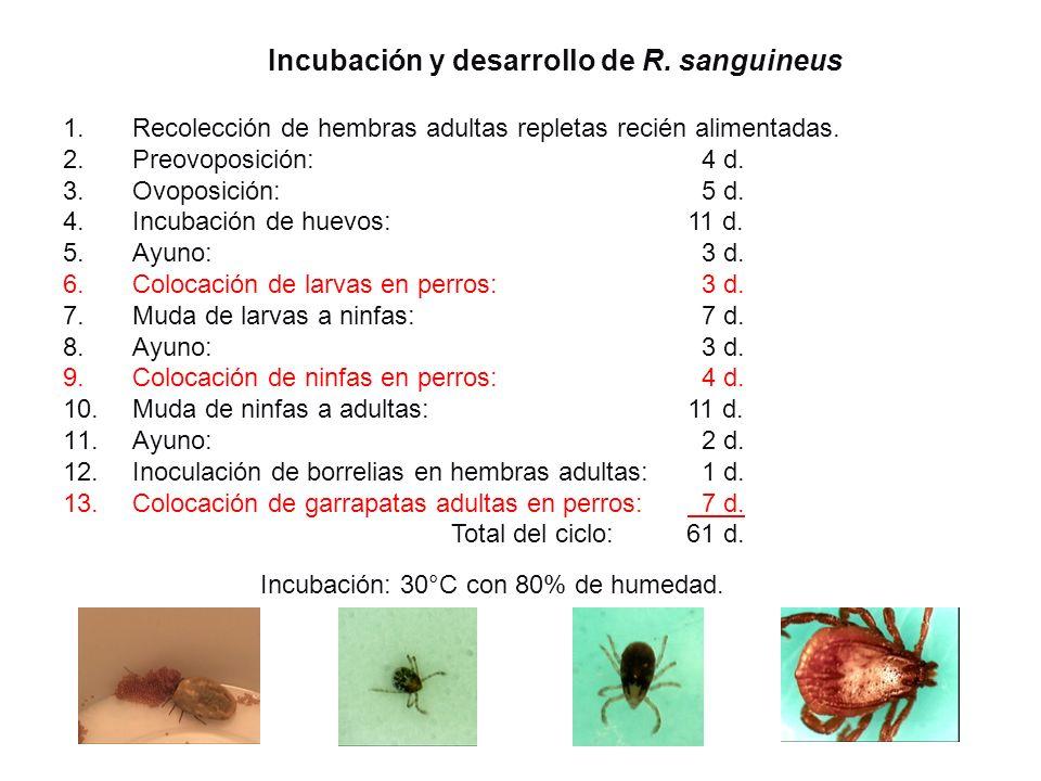Incubación y desarrollo de R. sanguineus