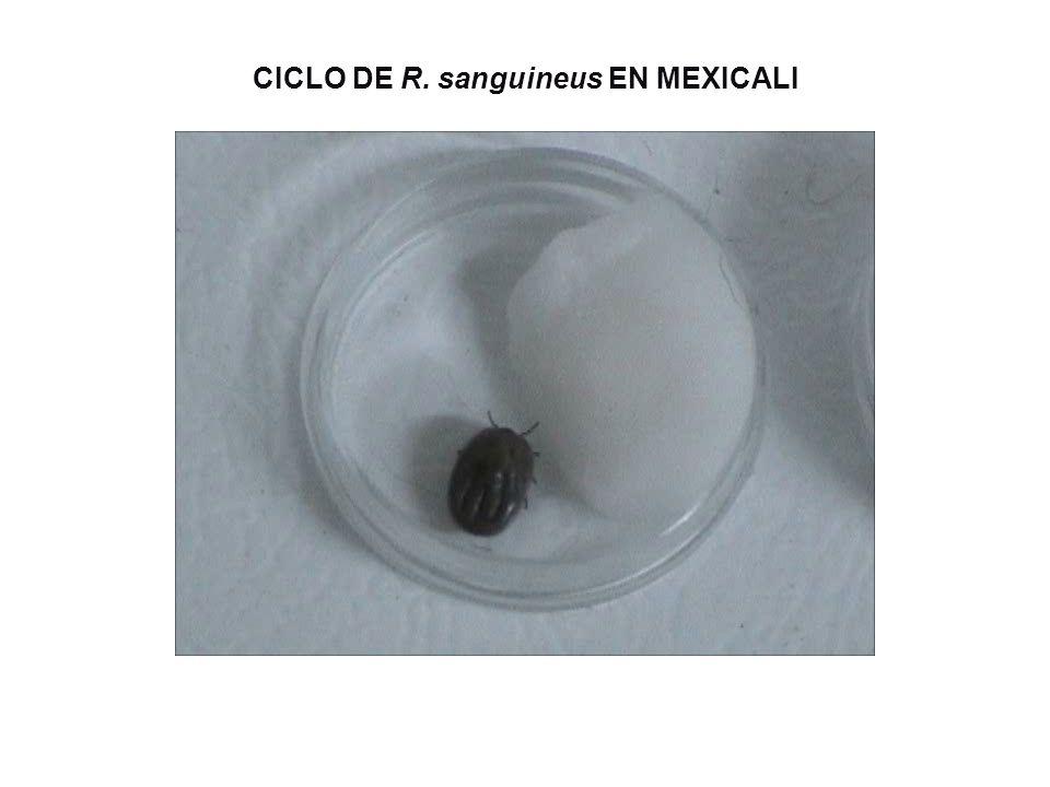 CICLO DE R. sanguineus EN MEXICALI