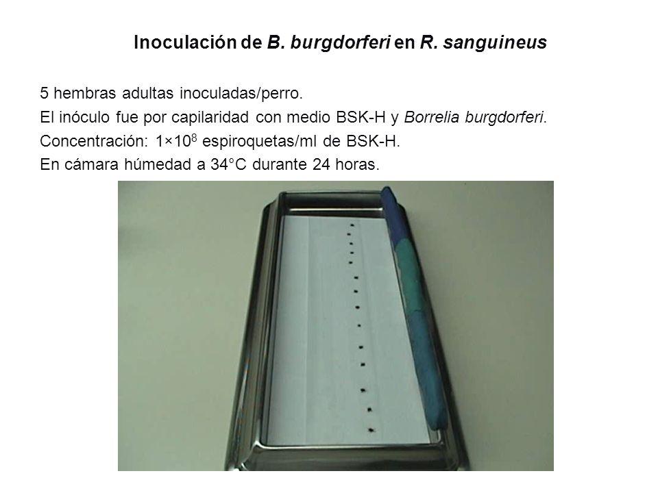 Inoculación de B. burgdorferi en R. sanguineus