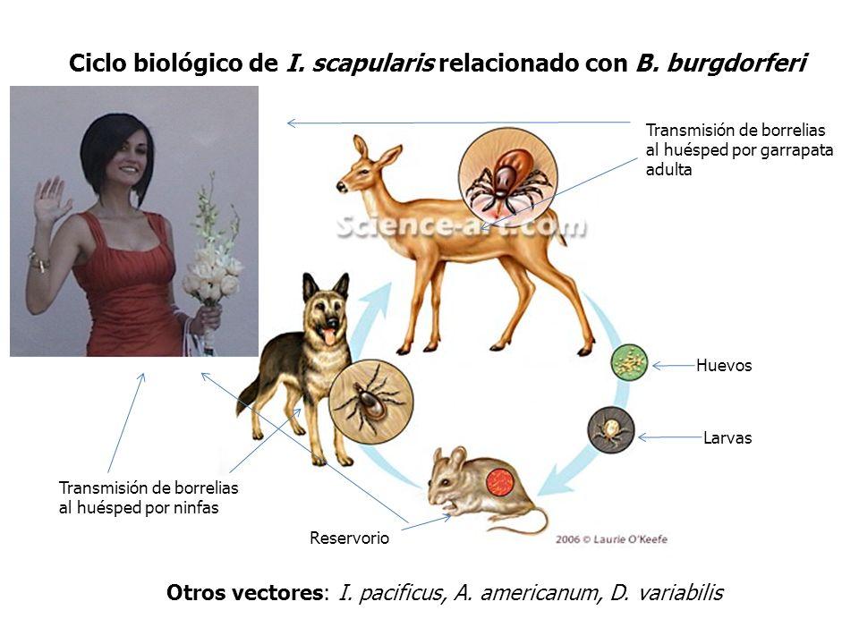 Ciclo biológico de I. scapularis relacionado con B. burgdorferi