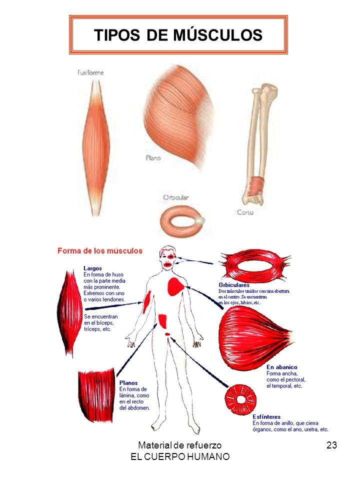 Contemporáneo Músculos En El Cuerpo Humano Adorno - Anatomía de Las ...