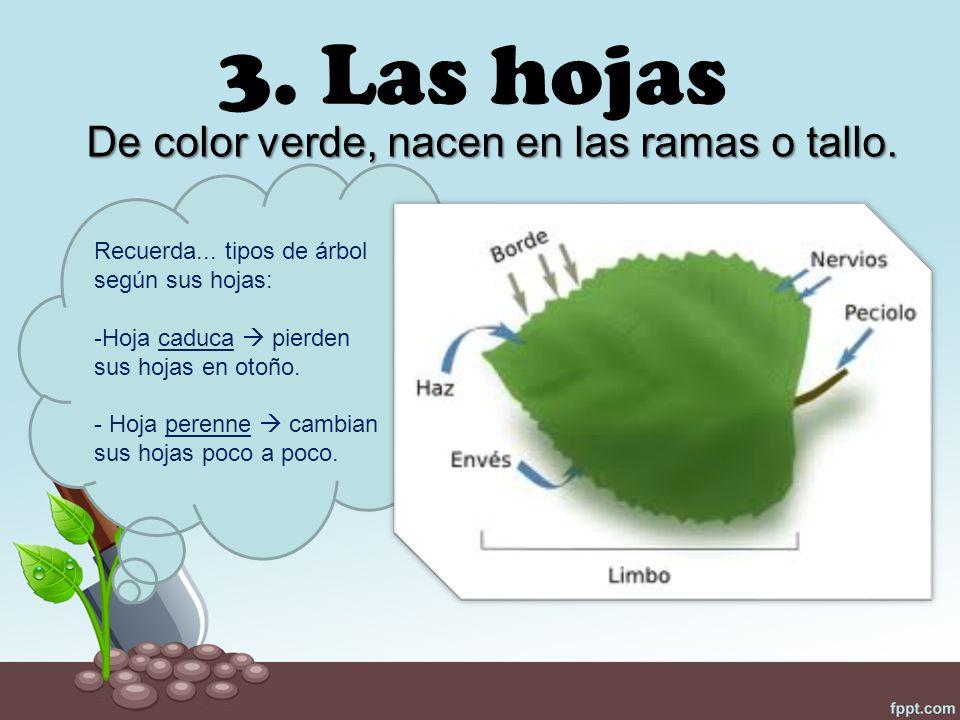 Tema 3 las plantas ppt video online descargar for Arboles de hoja perenne que crece rapido