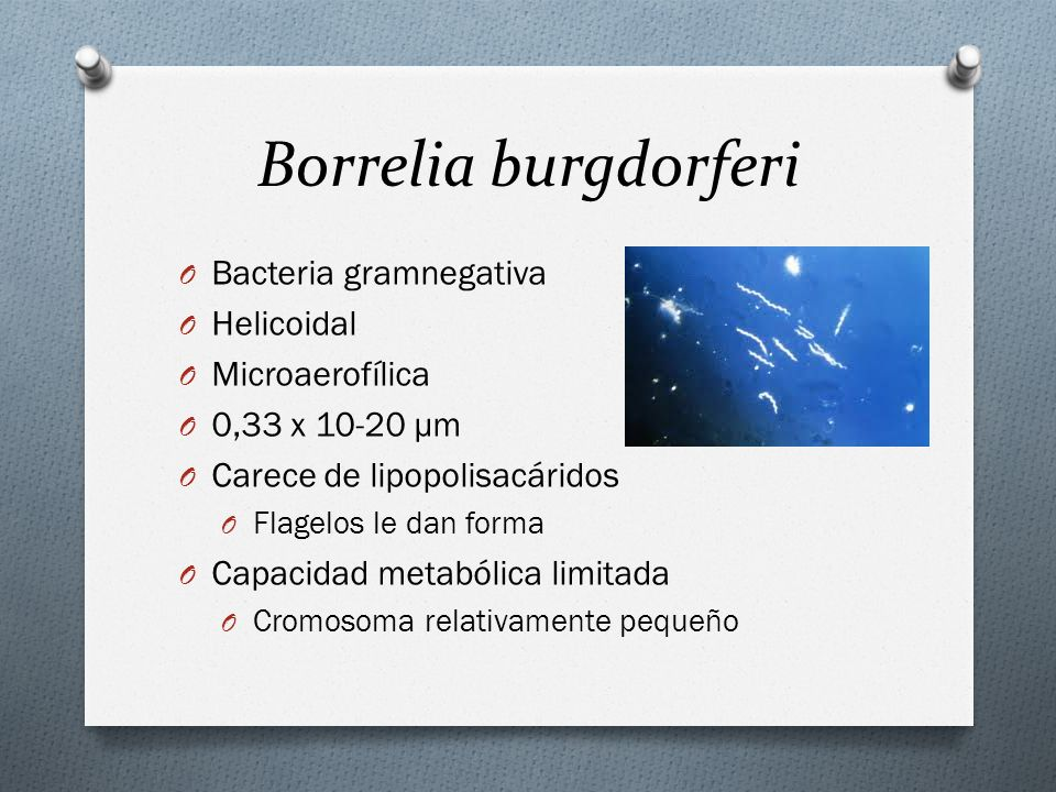 Borrelia burgdorferi Bacteria gramnegativa Helicoidal Microaerofílica
