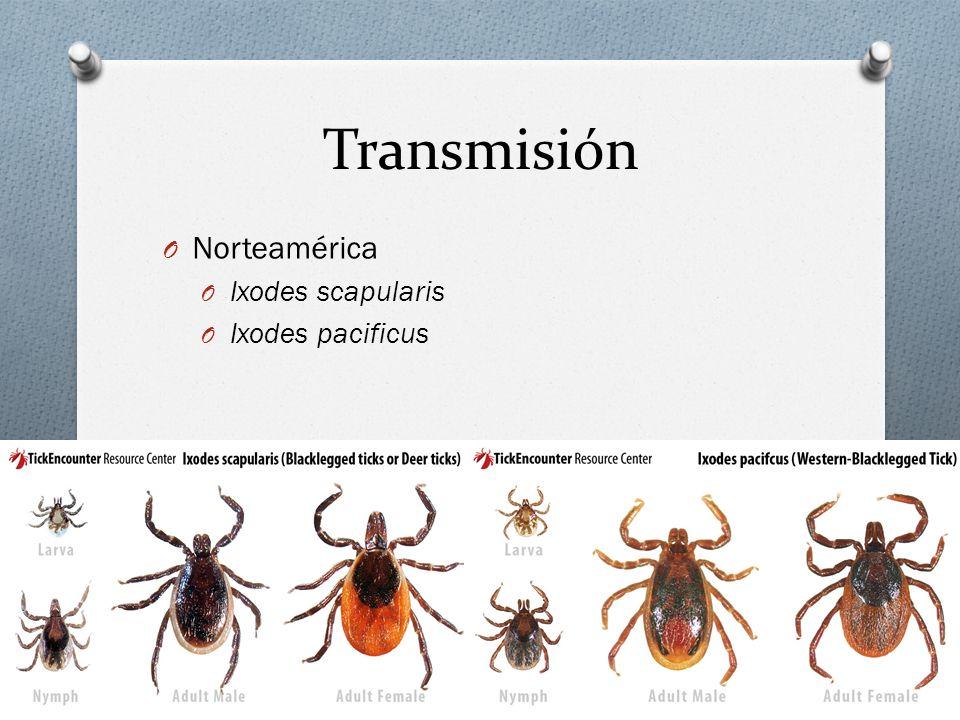 Transmisión Norteamérica Ixodes scapularis Ixodes pacificus