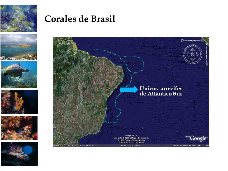 Corales de Brasil Unicos arrecifes de Atlántico Sur 21 21 21
