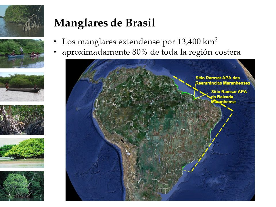 Manglares de Brasil Los manglares extendense por 13,400 km2