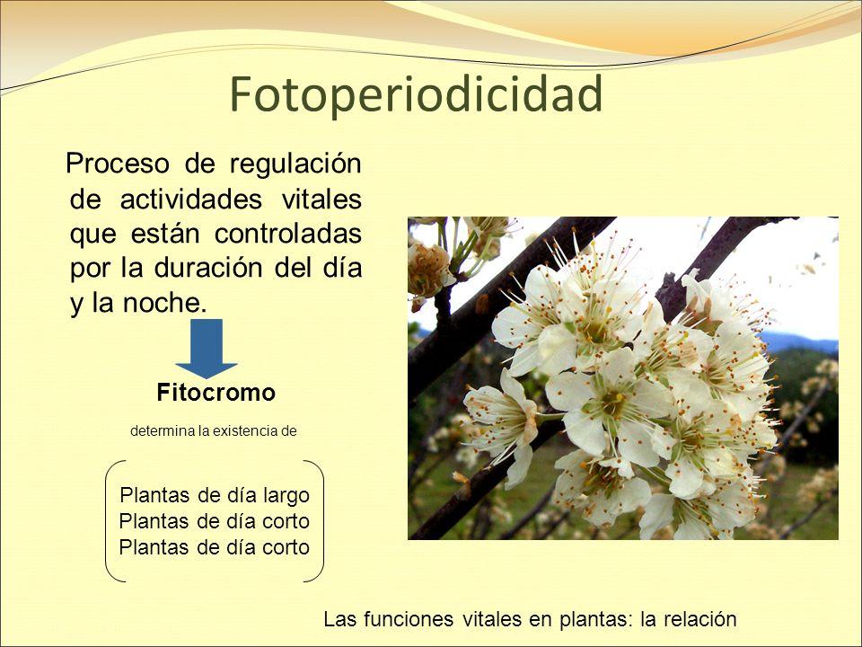 Fotoperiodicidad Proceso de regulación de actividades vitales que están controladas por la duración del día y la noche.