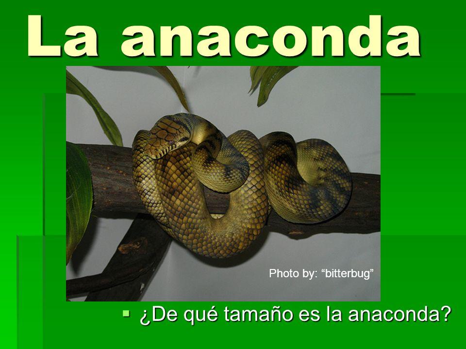 La anaconda Photo by: bitterbug ¿De qué tamaño es la anaconda