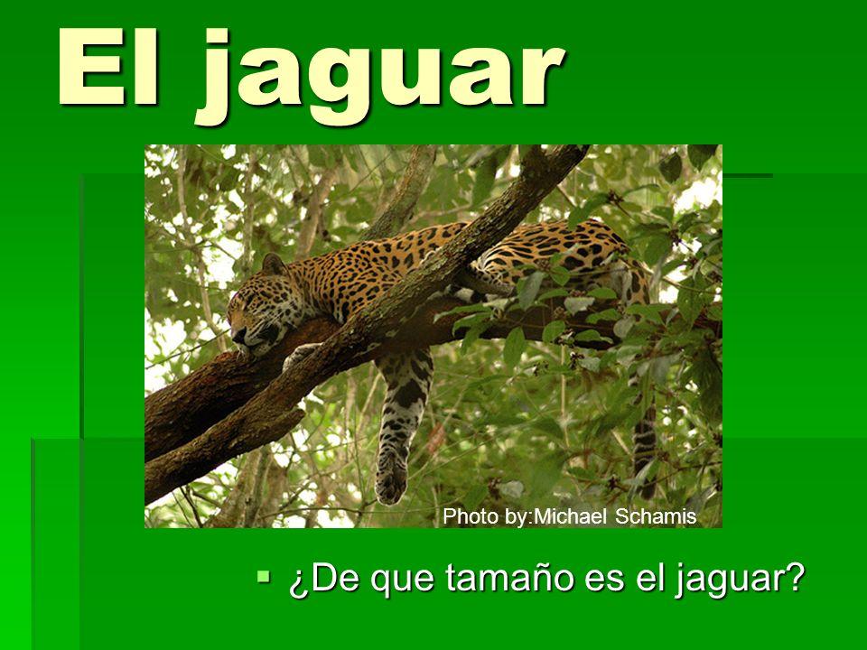 El jaguar Photo by:Michael Schamis ¿De que tamaño es el jaguar