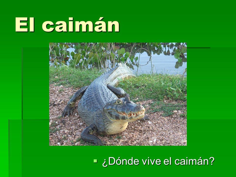 El caimán ¿Dónde vive el caimán