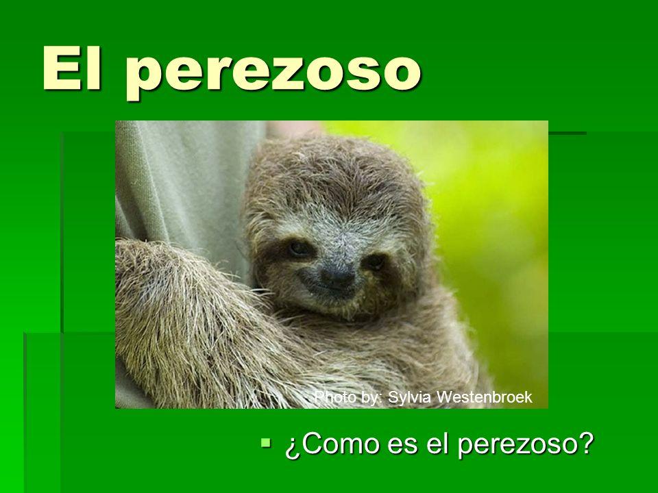 El perezoso Photo by: Sylvia Westenbroek ¿Como es el perezoso