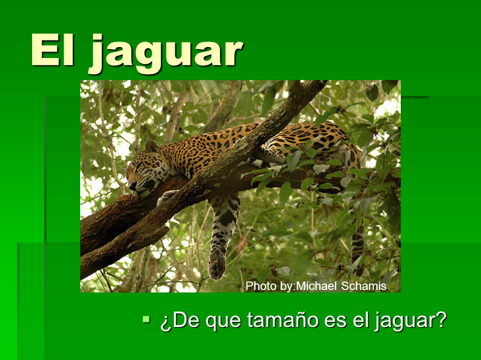 El jaguar Photo by:Michael Schamis ¿De que tamaño es el jaguar
