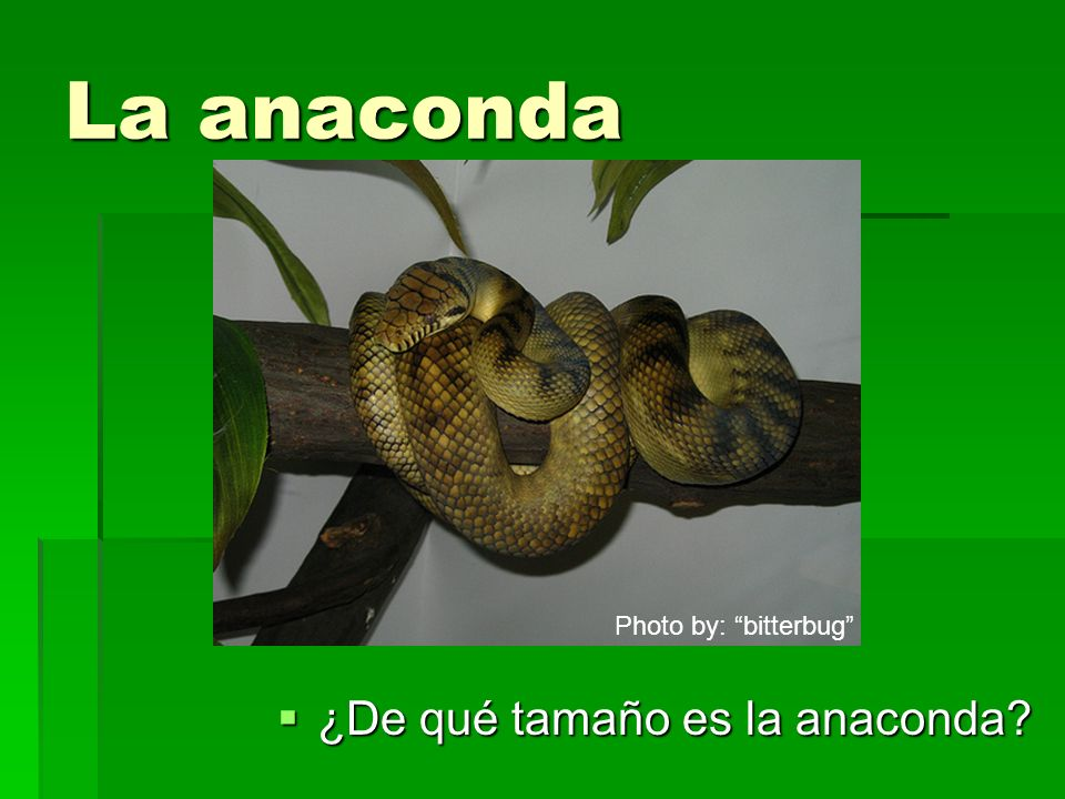 La anaconda Photo by: bitterbug ¿De qué tamaño es la anaconda