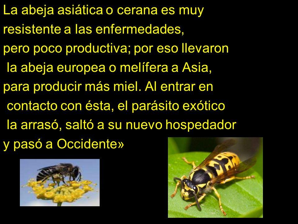 La abeja asiática o cerana es muy resistente a las enfermedades, pero poco productiva; por eso llevaron la abeja europea o melífera a Asia, para producir más miel.
