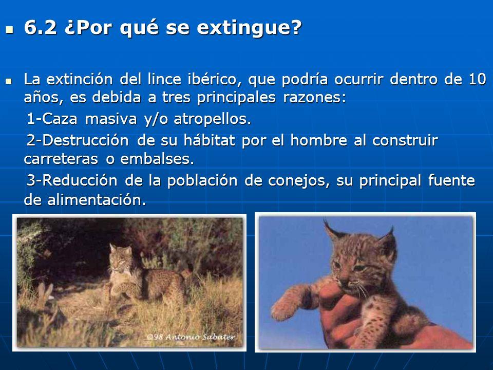 6.2 ¿Por qué se extingue La extinción del lince ibérico, que podría ocurrir dentro de 10 años, es debida a tres principales razones: