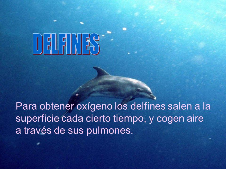 DELFINES Para obtener oxígeno los delfines salen a la superficie cada cierto tiempo, y cogen aire a través de sus pulmones.