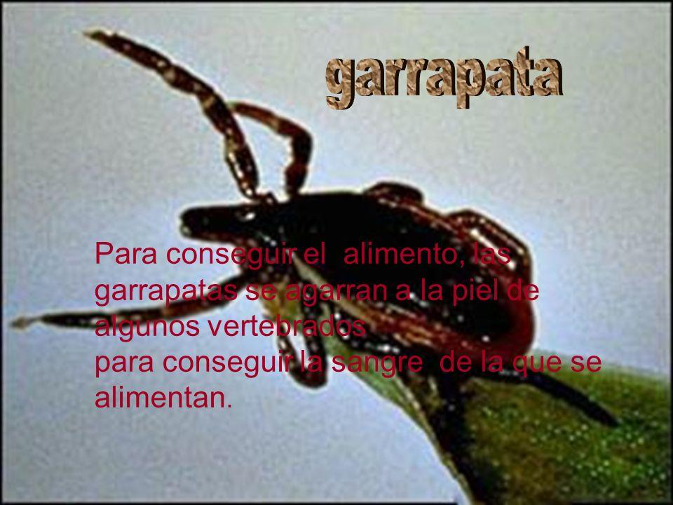 garrapataPara conseguir el alimento, las garrapatas se agarran a la piel de algunos vertebrados.