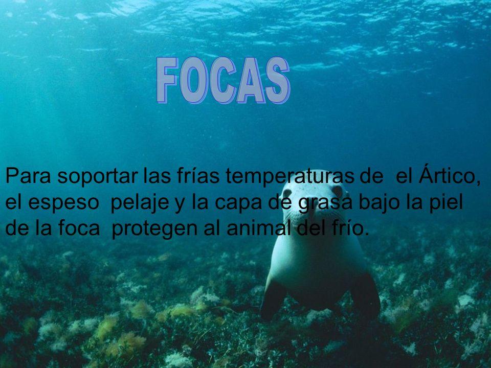 FOCASPara soportar las frías temperaturas de el Ártico, el espeso pelaje y la capa de grasa bajo la piel de la foca protegen al animal del frío.