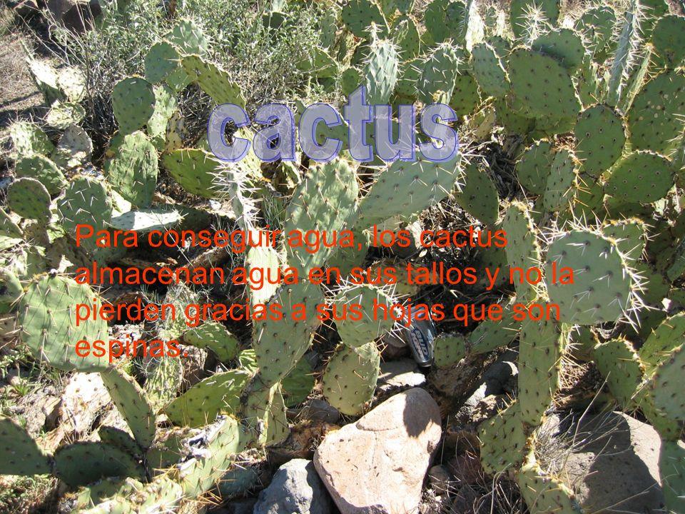 Para conseguir agua, los cactus almacenan agua en sus tallos y no la