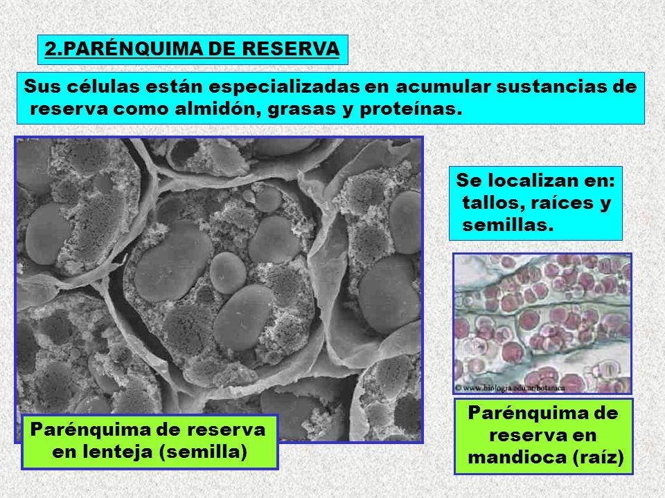 2.PARÉNQUIMA DE RESERVA Sus células están especializadas en acumular sustancias de. reserva como almidón, grasas y proteínas.