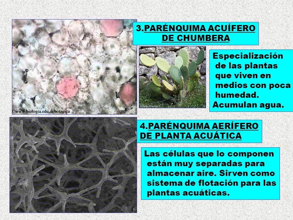 3.PARÉNQUIMA ACUÍFERO DE CHUMBERA. Especialización. de las plantas. que viven en. medios con poca.