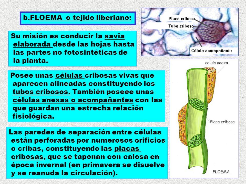 b.FLOEMA o tejido liberiano: