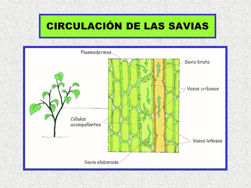 CIRCULACIÓN DE LAS SAVIAS