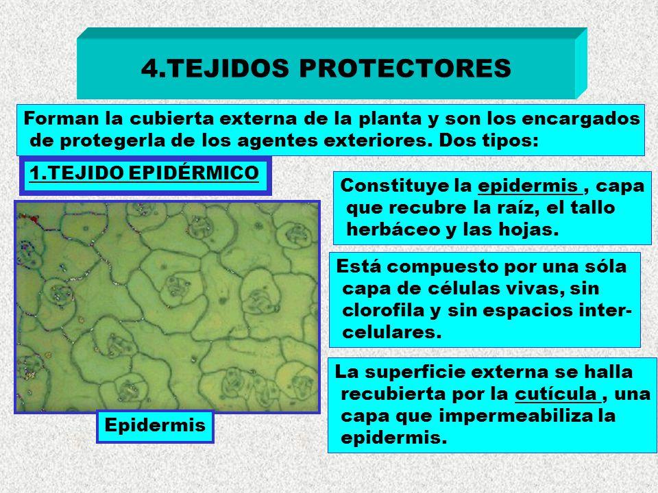 4.TEJIDOS PROTECTORES Forman la cubierta externa de la planta y son los encargados. de protegerla de los agentes exteriores. Dos tipos:
