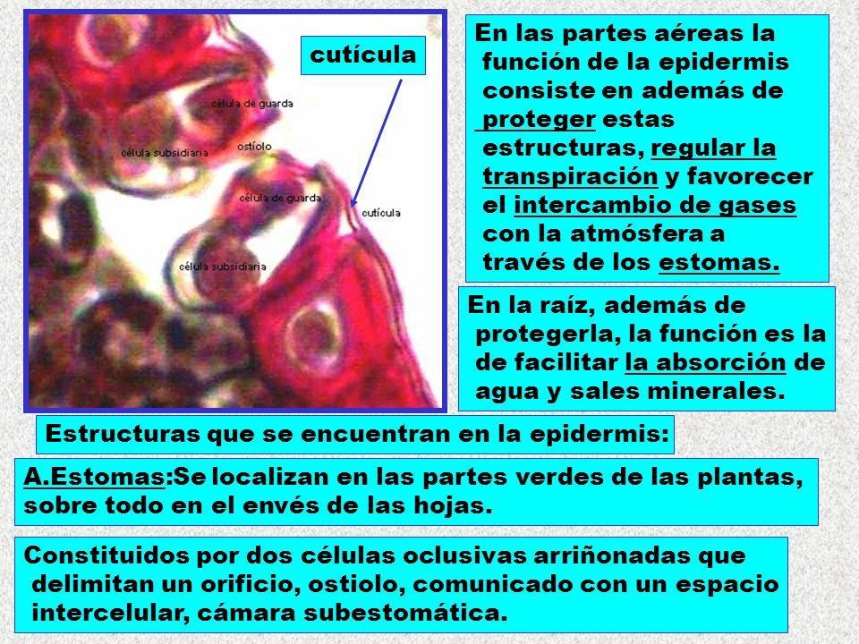 cutícula En las partes aéreas la. función de la epidermis. consiste en además de. proteger estas.
