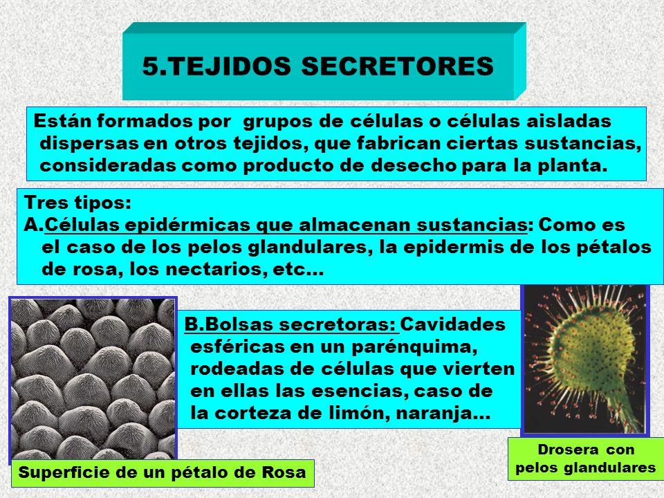 5.TEJIDOS SECRETORES Están formados por grupos de células o células aisladas. dispersas en otros tejidos, que fabrican ciertas sustancias,