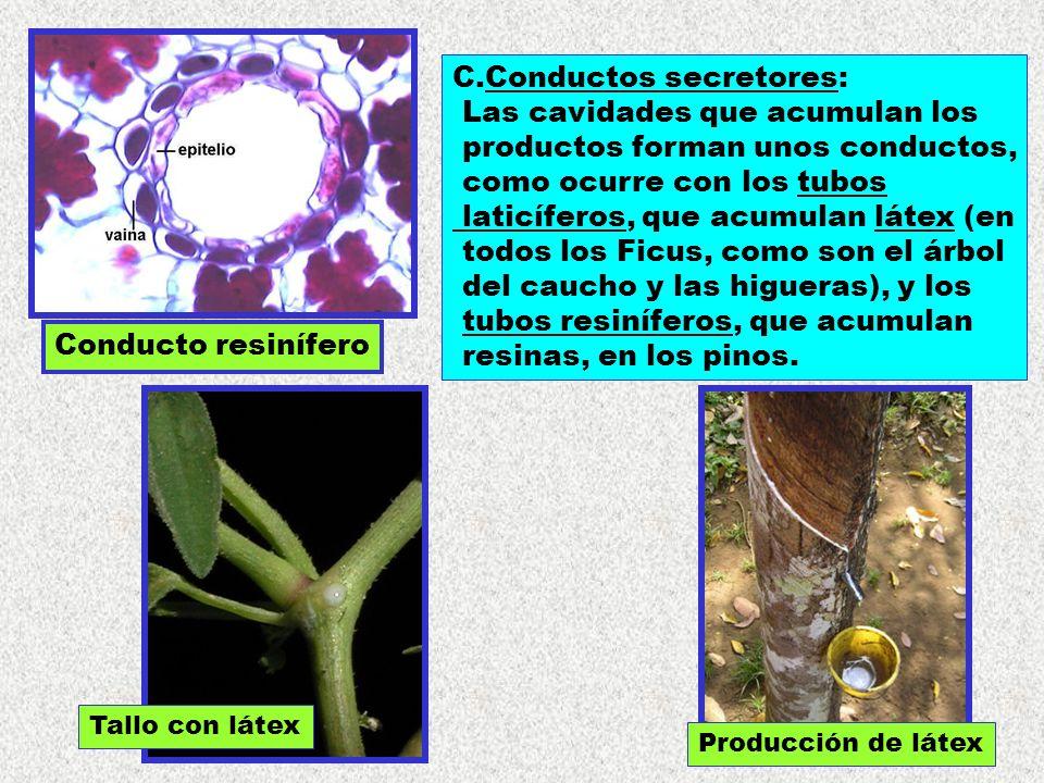 C.Conductos secretores: Las cavidades que acumulan los