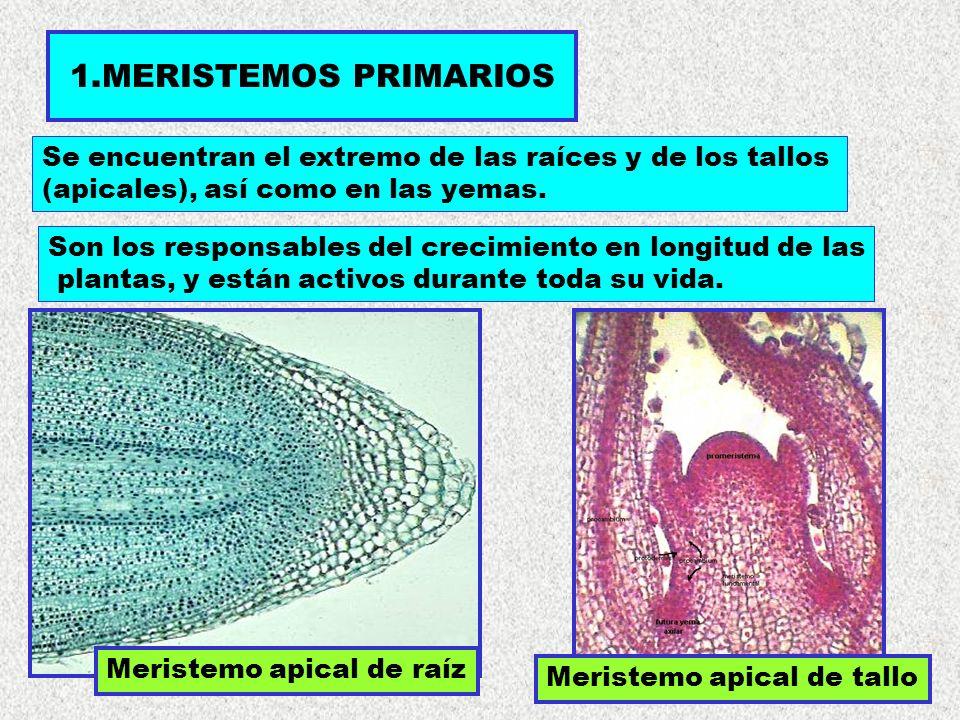 1.MERISTEMOS PRIMARIOS Se encuentran el extremo de las raíces y de los tallos. (apicales), así como en las yemas.