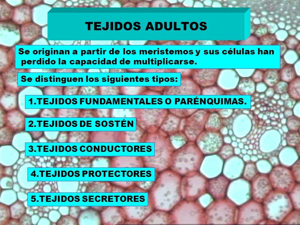 TEJIDOS ADULTOSSe originan a partir de los meristemos y sus células han. perdido la capacidad de multiplicarse.