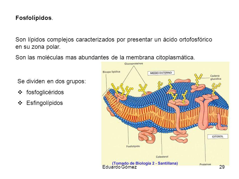 Son las moléculas mas abundantes de la membrana citoplasmática.