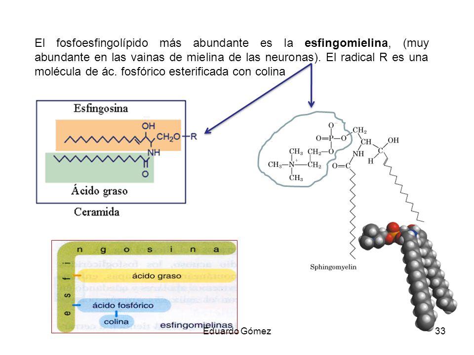 El fosfoesfingolípido más abundante es la esfingomielina, (muy abundante en las vainas de mielina de las neuronas). El radical R es una molécula de ác. fosfórico esterificada con colina