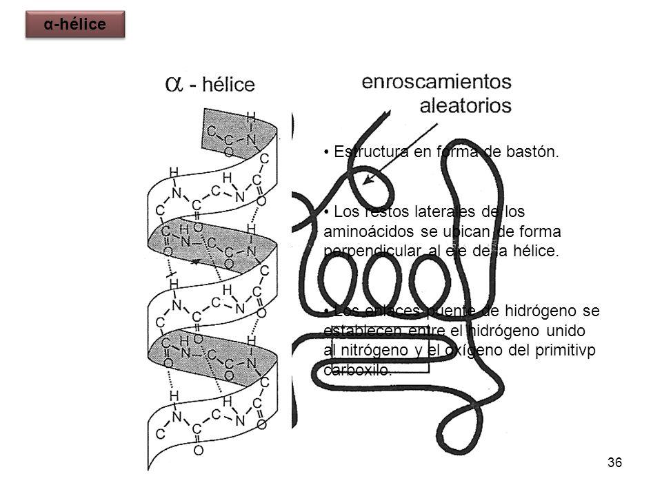 α-héliceEstructura en forma de bastón. Los restos laterales de los aminoácidos se ubican de forma perpendicular al eje de la hélice.