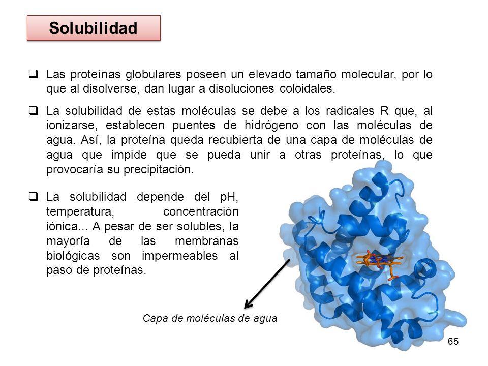 SolubilidadLas proteínas globulares poseen un elevado tamaño molecular, por lo que al disolverse, dan lugar a disoluciones coloidales.