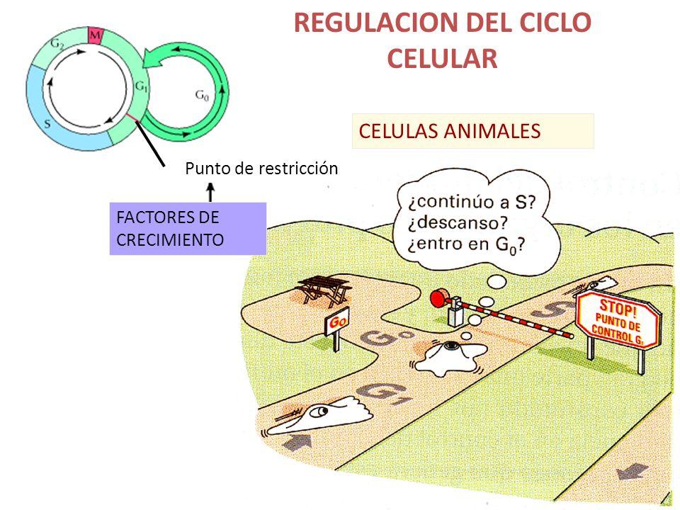REGULACION DEL CICLO CELULAR
