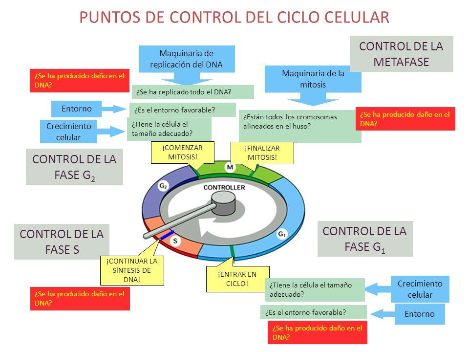 PUNTOS DE CONTROL DEL CICLO CELULAR