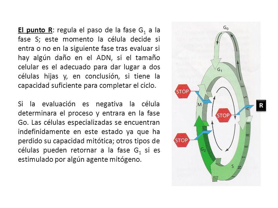 El punto R: regula el paso de la fase G1 a la fase S; este momento la célula decide si entra o no en la siguiente fase tras evaluar si hay algún daño en el ADN, si el tamaño celular es el adecuado para dar lugar a dos células hijas y, en conclusión, si tiene la capacidad suficiente para completar el ciclo.