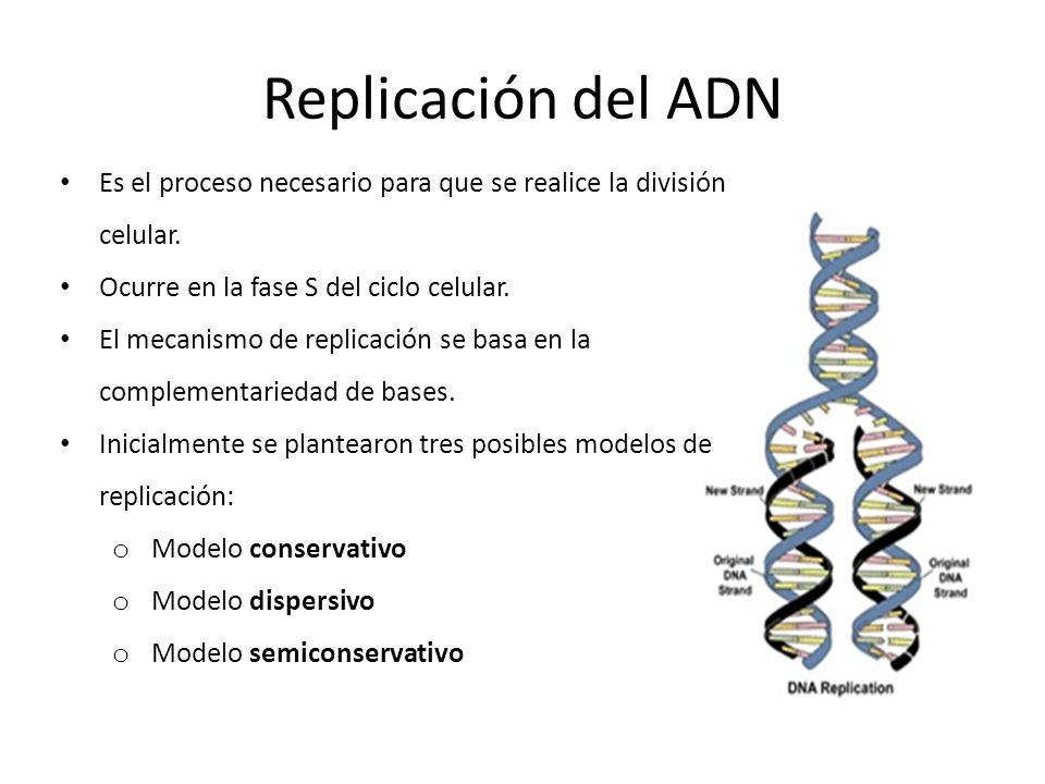 Replicación del ADN Es el proceso necesario para que se realice la división celular. Ocurre en la fase S del ciclo celular.