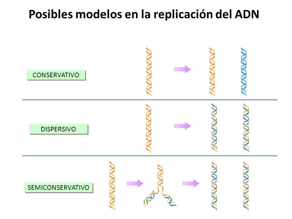 Posibles modelos en la replicación del ADN