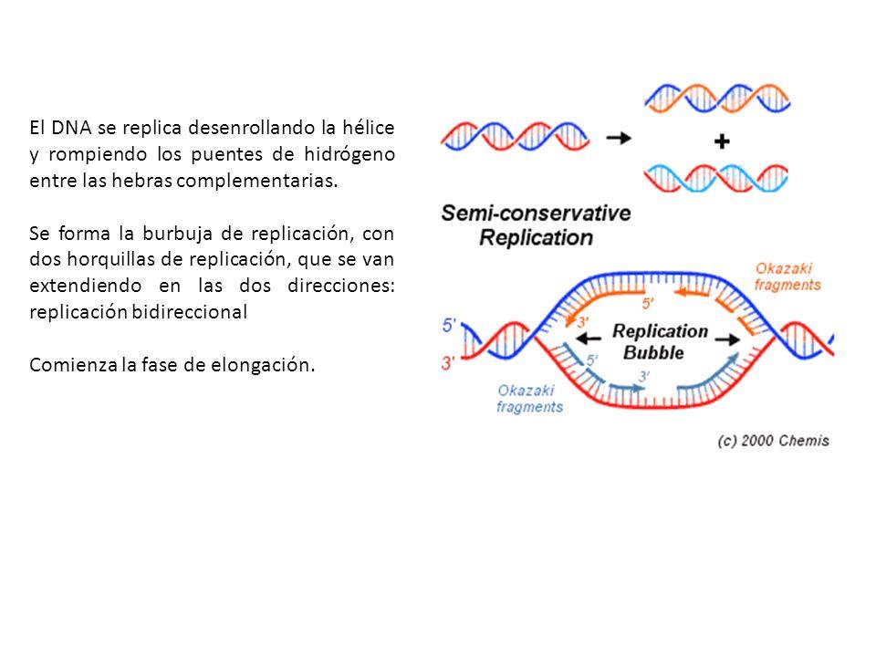 El DNA se replica desenrollando la hélice y rompiendo los puentes de hidrógeno entre las hebras complementarias.