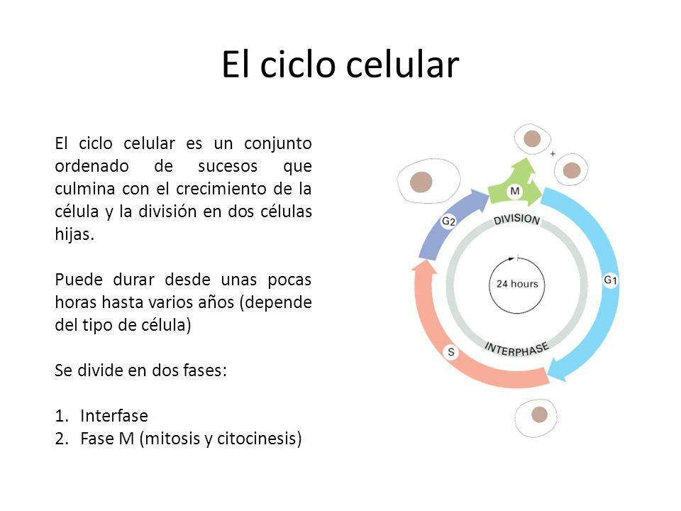El ciclo celular El ciclo celular es un conjunto ordenado de sucesos que culmina con el crecimiento de la célula y la división en dos células hijas.