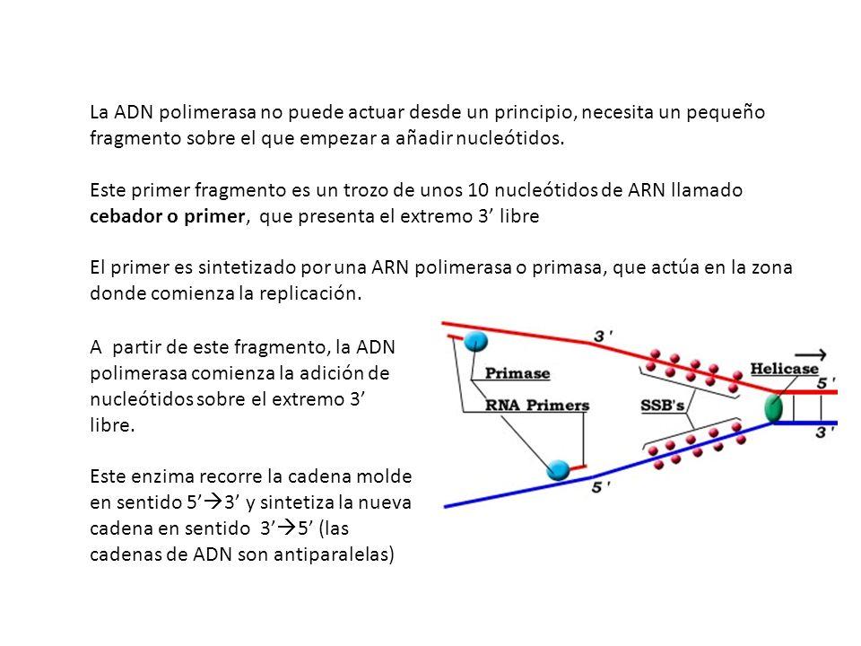 La ADN polimerasa no puede actuar desde un principio, necesita un pequeño fragmento sobre el que empezar a añadir nucleótidos.