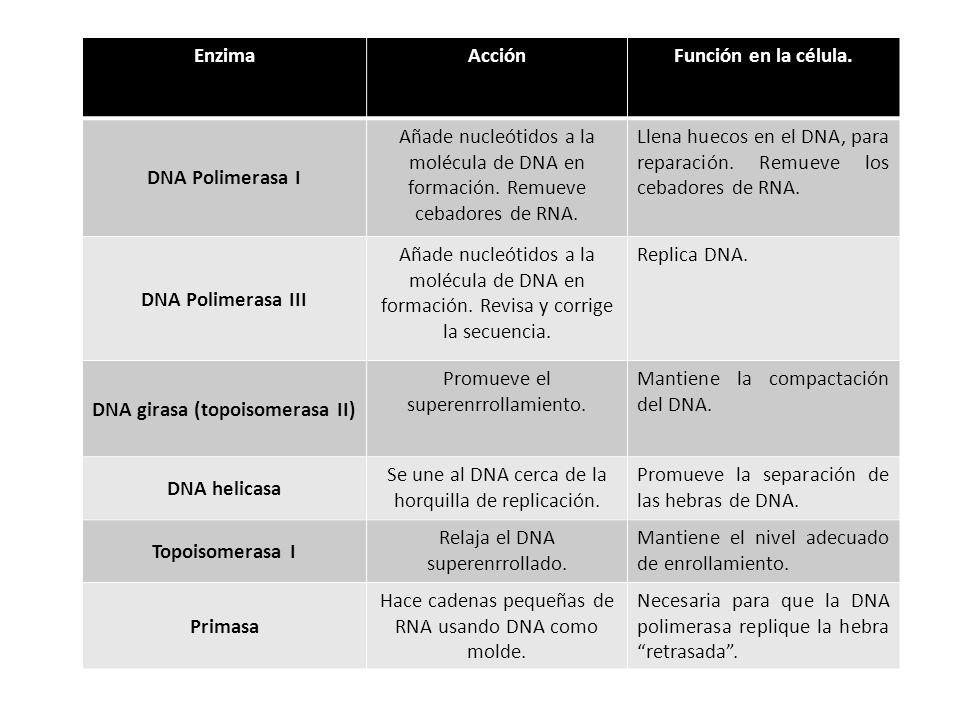 DNA girasa (topoisomerasa II)