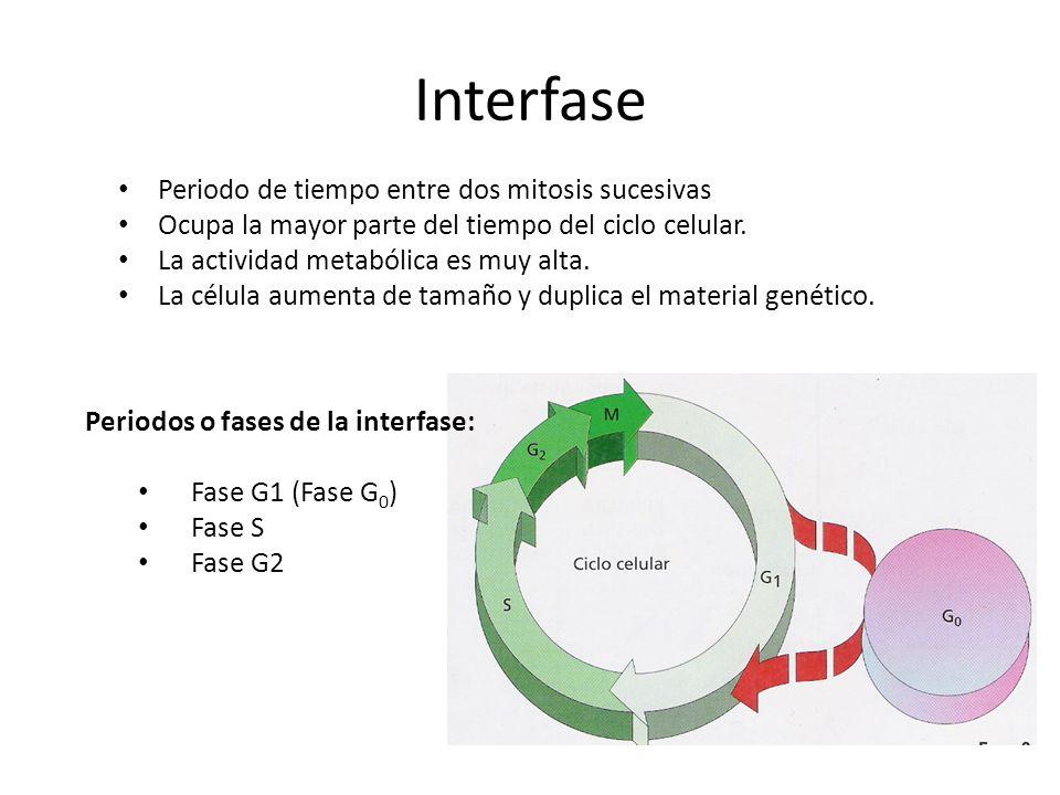 Interfase Periodo de tiempo entre dos mitosis sucesivas